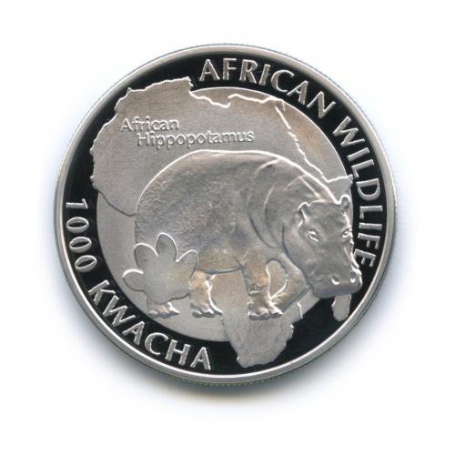 1000 квача - Дикая природа Африки - Африканский бегемот, Замбия 2015 года