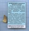 Зуб ископаемого Мозазавра (возраст 65-70 млн лет, Меловой период, место находки Марокко)