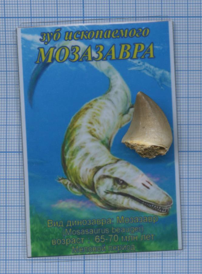 Зуб ископаемого Мозазавра (возраст: 65-70 млн. лет (Меловой период), место находки: Марокко) (Марокко)
