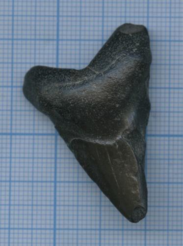 Зуб акулы Мегалодон